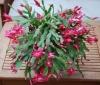 Рождественник, наш зимний аленький цветочек.