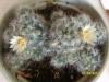 Первое цветение кактуса