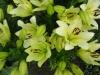 Лилии в цветнике.  ОТ- гибриды.