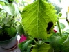 Почернение листьев плектрантуса