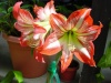 Заставить амариллис обильно цвести можно любовью