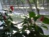 Бальзамин - этот чуткий и трогательный цветок.