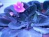 Первое цветение Фиалки