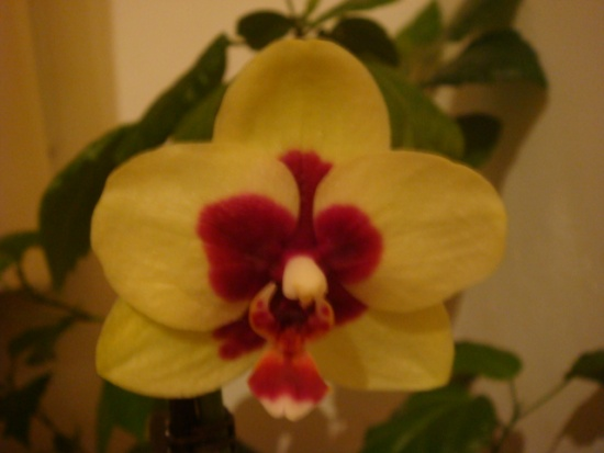Как размножают орхидеи фаленопсис