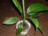 Ожидание цветения спатифиллума