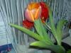 Выгонка тюльпанов в теплице , проблемы!