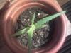 Чтобы листики алоэ не засохли