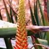 Алоэ, - красивое и лебное растение.