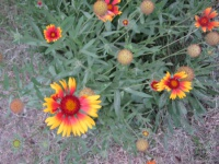 Гайлардия: украсьте свой цветник