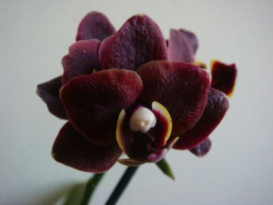 Как выращивать мини – фаленопсисы