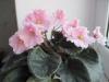 Как подкисленная вода влияет на цветение фиалок?