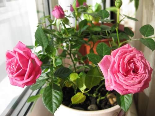 Комнатная роза один из моих любимых