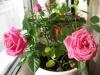 Посадка комнатной розы.