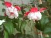 Растение - балерина