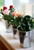 Как вырастить розы в квартире
