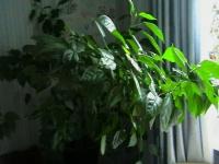 Зелень гибискуса