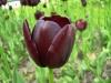 Тюльпаны в цветочных горшках