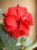 Моя  китайская  роза  впервые  зацвела.