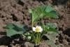 Как и когда рассаживать клубнику и чем удобрять