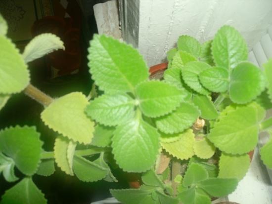 Полезное комнатное растение