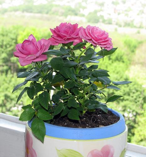 Розы в доме