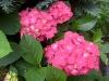 Очаровательный цветок гортензия - посадка и уход