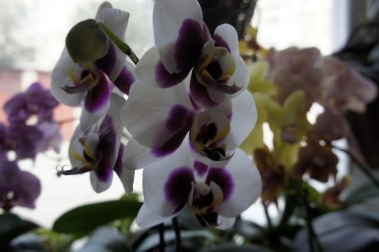 Что делать, если фаленопсис не цветет