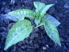 Выращивание комнатного горького перца