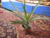 Как посадить ананас в квартире