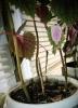 Проблемы выращивания колеуса