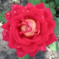 Роза - солитер