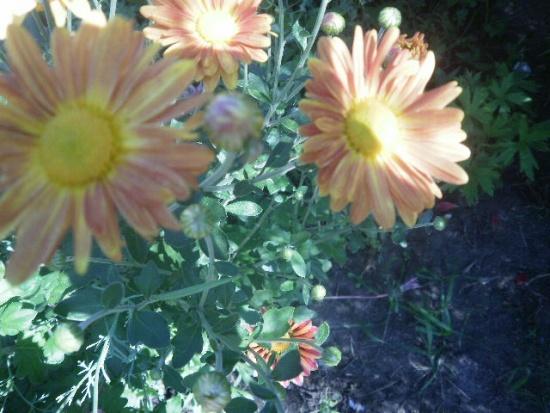 Хризантемы: на улице и в доме...