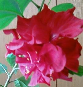 Мои гибискусы цветут весной и летом
