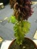 Как спасти пересушенные хризантемы?