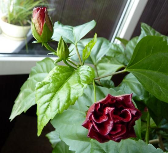 Почему не цветёт роза в домашних условиях 100