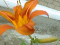 Как выращивать лилию