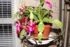 Как подготовить декобриста к цветению?