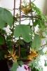 Пассифлора - растение для терпеливых