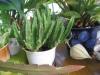 Как омолодить растение