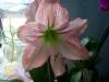 Гиппеаструм снова цветёт