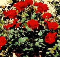 Миниатюрные комнатные розы