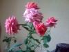 Выращивание комнатной розы.