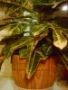 Кротон: опыт выращивания.