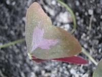 Кислица - бабочка на вашем окне