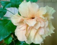 Цветок гибискуса пахнет