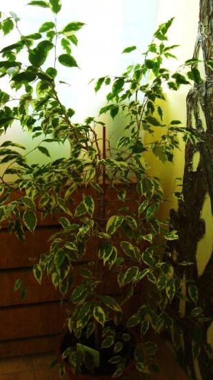 Фикус бенджамина уход и выращивание