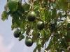 Как вырастить авокадо у себя в доме