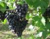 Обрезка винограда для начинающих: когда и как обрезать