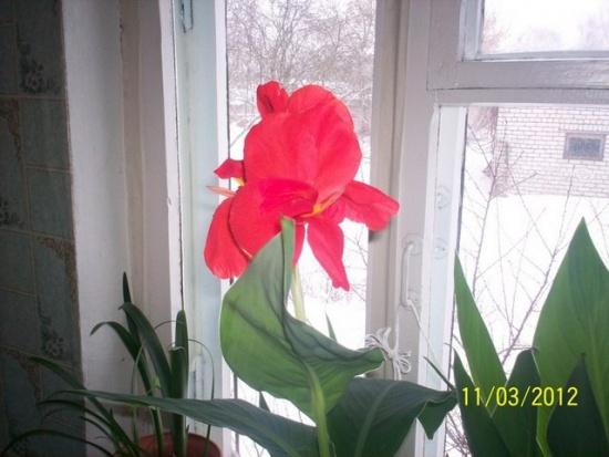 Канны цветы уход в домашних условиях