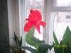 Канна цветёт дважды.
